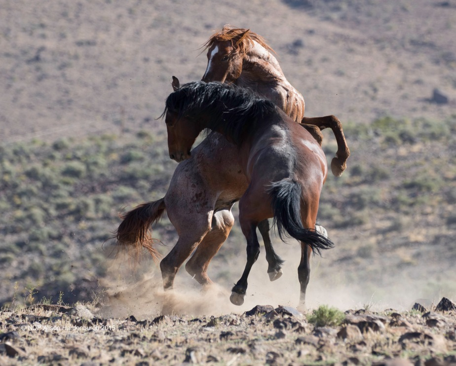 Exciting Time of the Year for Wild HorsePhotography