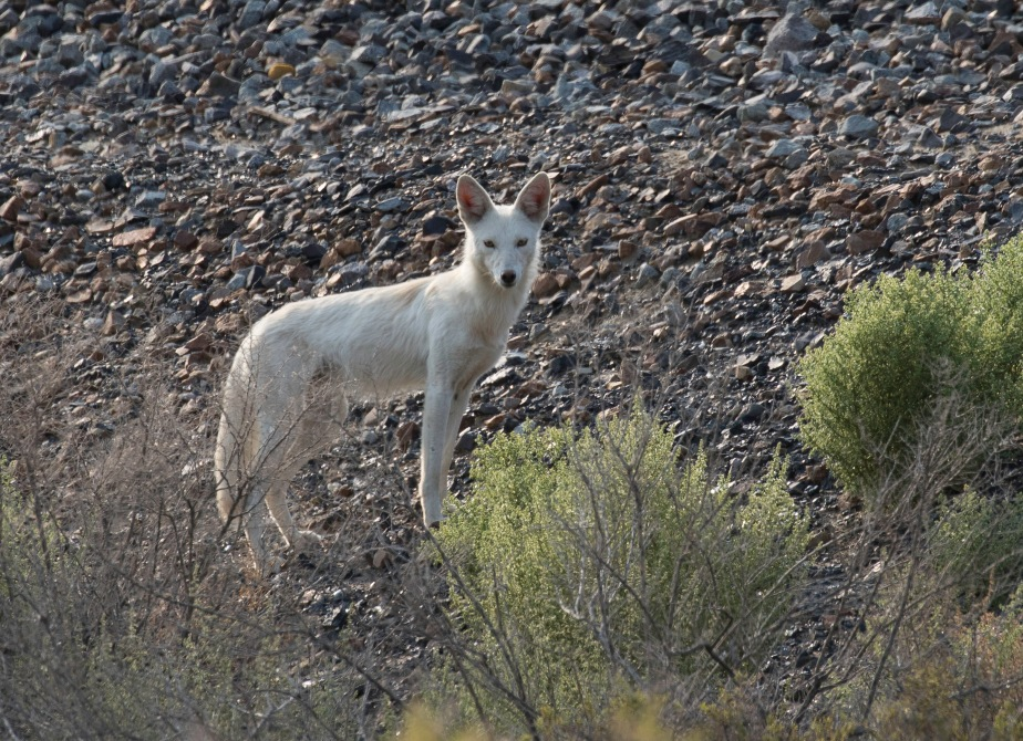 What is it? Coyote or other?