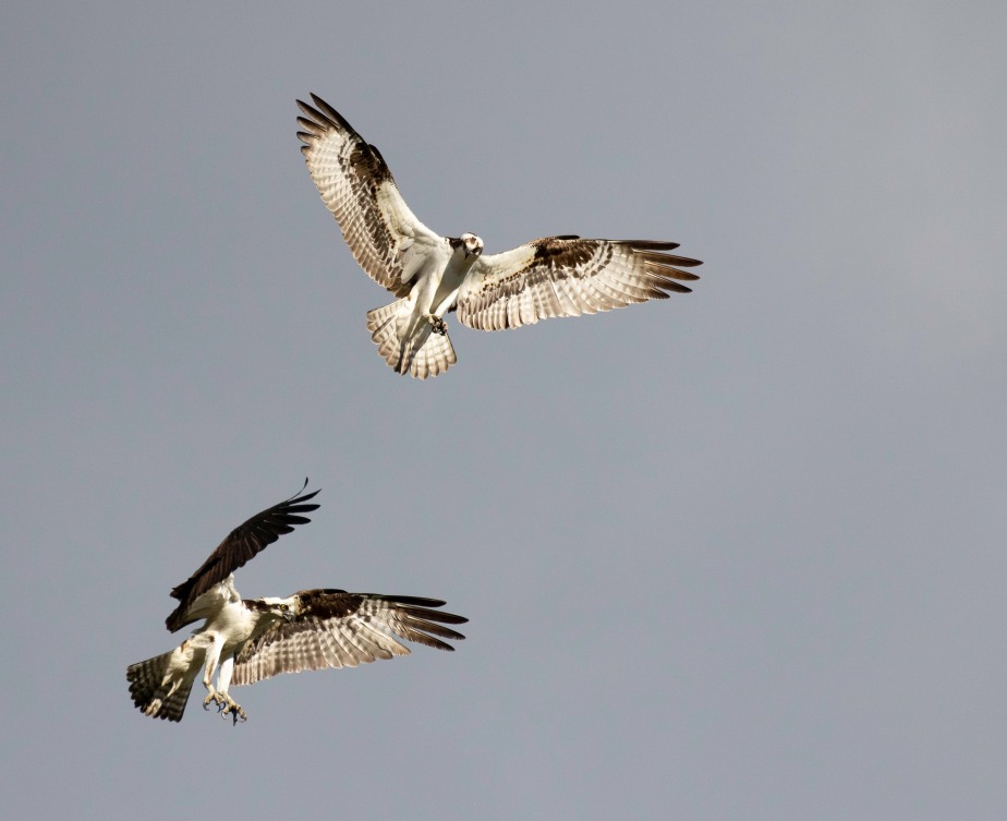 Angelic Ospreys