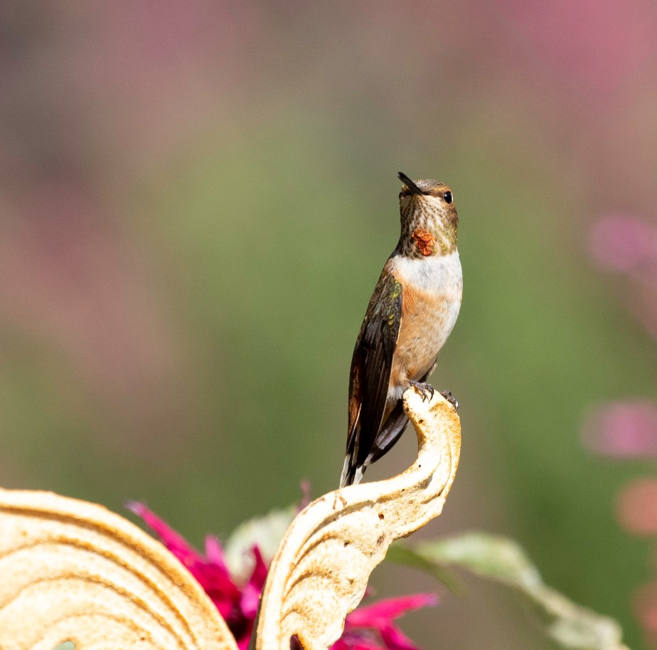 Hummingbirds at Rest